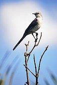 Tropical Mockingbird (Mimus gilvus), photographed in Guarapari, Espírito Santo - Brazil. Atlantic Forest Biome.