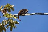 Brown howler monkey (Alouatta guariba), photographed in Santa Maria de Jetibá, Espírito Santo - Brazil. Atlantic forest Biome. Wild animal.