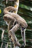 Young Northern muriqui (Brachyteles hypoxanthus) Critically Endangered of extinction, photographed in Santa Maria de Jetibá, Espírito Santo - Brazil. Atlantic forest Biome. Wild animal.