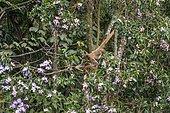 Northern muriqui (Brachyteles hypoxanthus) eats in a tree. Critically Endangered of extinction, photographed in Santa Maria de Jetibá, Espírito Santo - Brazil. Atlantic forest Biome. Wild animal.