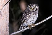 Tropical Screech-Owl (Megascops choliba) photographed overnight on the branch. In Sooretama, Espírito Santo, Brazil.