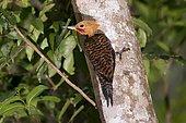 Ringed Woodpecker (Celeus torquatus) sitting on a trunk, in Sooretama, Espírito Santo, Brazil.