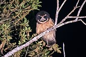 Tawny-browed Owl (Pulsatrix koeniswaldiana) photographed in Sooretama, Espírito Santo - Brazil.