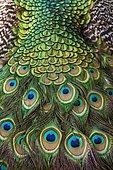 Détail de queue de Paon bleu (Pavo cristatus)
