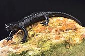 Alpine salamander, Salamandra atra atra