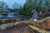 Annual Spring Harvest of Alewives (Alosa pseudoharengus) at ALEWIFE RESTORATION PROJECT. Damariscotta Mills, Maine