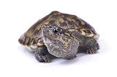 Narrow-bridged musk turtle,Staurotypus triporcatus