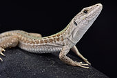 Italian wall lizard, Podarcis sicula campestris