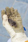 Musaraigne des jardins (Crocidura suaveolens) dans le gant d'un jardinier, Pas de Calais, France
