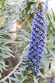 Pride of Madeira (Echium fastosum) in bloom in a garden in spring, Cotentin, France