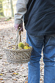 Harvesting chestnuts (Castanea sativa) in a wicker basket in autumn, France