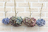 Dried Hydrangea flowers hanging on a rope in summer, Pas de Calais, France