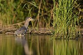 Night Heron (Nycticorax nycticorax) fishing in water, La Dombes, France