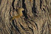 Unstriped Ground Squirrel (Xerus rutilus) on dead tree, Chobe, Botswana