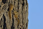 Unstriped Ground Squirrels (Xerus rutilus) on dead tree, Chobe, Botswana