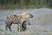 Hyène tachetée (Crocuta crocuta) et jeune à la tanière, Khwai, Botswana