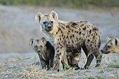 Hyène tachetée (Crocuta crocuta) et jeunes à la tanière, Khwai, Botswana