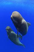Pilot whale (Globicephala macorhynchus). Close-up of submerged couple. Tenerife, Canary Islands.