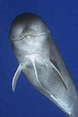 Pilot whale (Globicephala macorhynchus). Close-up of submerged Juvenile. Tenerife, Canary Islands.