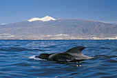Pilot whale (Globicephala macorhynchus). Specimen on surface. Dorsall fin. Tenerife, Canary Islands.