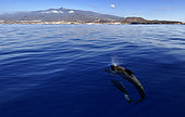 Pilot whale (Globicephala macorhynchus). Group on surface. Tenerife, Canary Islands.