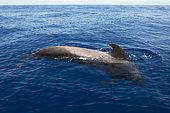Pilot whale (Globicephala macorhynchus). Dorsall fin. Adult. Tenerife. Canary Islands.