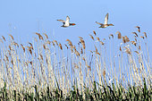 Common Pochard (Aythya ferina) Couple in flight over a reed bed in spring, Danube Delta, Romania
