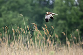 Marsh harrier (Circus aeruginosus) Male flying over a reed bed in spring, Danube Delta, Romania