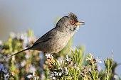Balearic warbler (Sylvia balearica), Ibiza, Balearic Islands, Spain