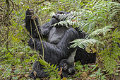Mountain gorilla (Gorilla beringei beringei) Silverback looking for foods with his baby - Rwanda