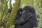 Gorilla (Gorilla beringei beringei) female protecting its young - Rwanda