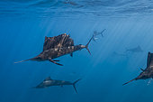 Group of sailfish (Istiophorus albicans) ready to hunt, Isla Mujeres, Mexico,