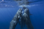 Two sperm whales are socializing - Indian ocean
