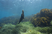 Sea lion (Zalophus californianus) swims towards the surface - Baja California, Mexico