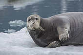 Bearded seal (Erignathus barbatus) on an iceberg - Svalbard, Norway