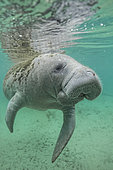 Manatee (Trichechus manatus latirostris) swimming just below the surface very closed - Florida, USA