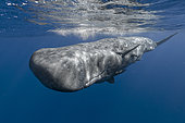 Young sperm whale with remoras - Indian Ocean