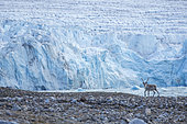 Reindeer (Rangifer tarandus) with a huge glacier - Svalbard; Norway