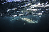 "Common dolphins (Delphinus delphis) hunting in a shoal of sardine during a ""Sardine Run""-South Africa"
