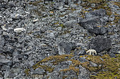 Polar bear (Ursus maritimus) walks on the side of a mountain - Svalbard, Norway