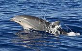 Fraser's Dolphin (Lagenodelphis hosei). Tenerife, Canary Islands.