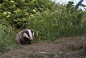 Blaireau d'Eurasie (Meles meles) jeune sortant de son terrier, Angleterre