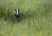 Badger (Meles meles) looking for food in a meadow, England