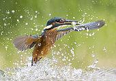 Kingfisher (Alcedo atthis) fishing, England