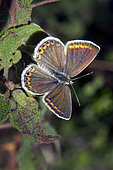 Brown Argus (Aricia agestis) Laying open wings on a cistus at the end of summer, Massif des Maures, surroundings of Hyères, France
