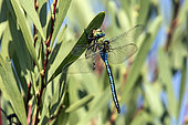 Emperor dragonfly (Anax imperator) Lying on the edge of a pond in early autumn, Massif des Maures, near Bormes les mimosas, France