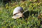 Burgundy Snail (Helix pomatia) moving on ground in summer, Country garden, Vosges, France