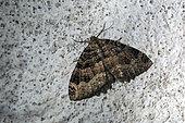 L'incertaine ou Dent de scie (Triphosa dubitata) Au repos dans une galerie souterraine d'un ancien fort en hiver, Environs de Toul, Lorraine, France 54