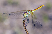 Red-veined Darter (Sympetrum fonscolombii) on a dry stalk at the end of summer, Massif des Maures, near Hyères, France