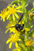 Mammoth Wasp (Megascolia maculata) on flower in late summer, Plaine des Maures, Les Mayons, France